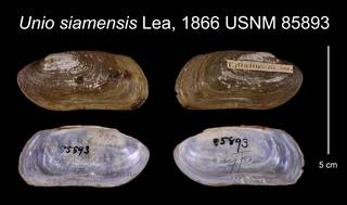 To NMNH Extant Collection (Unio siamensis Lea, 1866    USNM 85893)