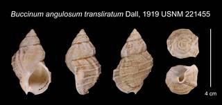 To NMNH Extant Collection (Buccinum angulosum transliratum Dall, 1919    USNM 221455)