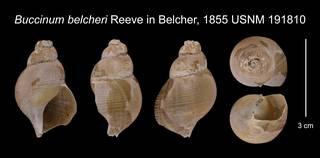 To NMNH Extant Collection (Buccinum belcheri Reeve in Belcher, 1855    USNM 191810)