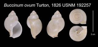 To NMNH Extant Collection (Buccinum ovum Turton, 1826    USNM 192257)