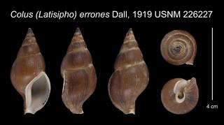 To NMNH Extant Collection (Colus (Latisipho) errones Dall, 1919    USNM 226227)