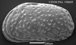 To NMNH Paleobiology Collection (Urocythereis oblonga? USNM PAL 190605)