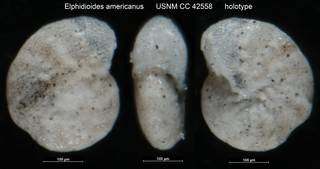 To NMNH Paleobiology Collection (Elphidioides americanus USNM CC 42558 holotype)