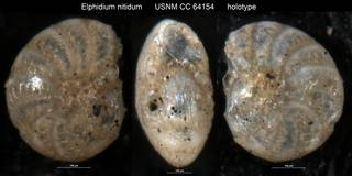 To NMNH Paleobiology Collection (Elphidium nitidum USNM CC 64154 holotype)