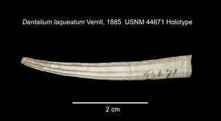 To NMNH Extant Collection (IZ MOL 44671 Scaphopod Holotype Shell)