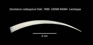 To NMNH Extant Collection (IZ MOL 94064 Scaphopod Lectotype Shell)