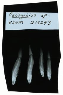 To NMNH Extant Collection (Drombus RAD102004-001)