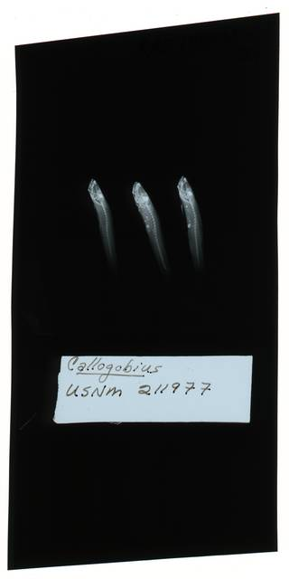 To NMNH Extant Collection (Feia RAD102036-002)