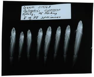 To NMNH Extant Collection (Callogobius depressus RAD102055-001)
