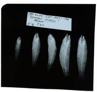 To NMNH Extant Collection (Callogobius irrasus RAD102069-002)