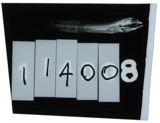 To NMNH Extant Collection (Ctenogobiops aurocingulus RAD102104-001)