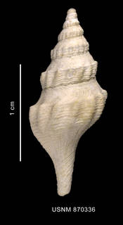 To NMNH Extant Collection (Bela martensi Strebel, 1905 shell dorsal view)