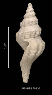 To NMNH Extant Collection (Bela martensi Strebel, 1905 shell lateral view)