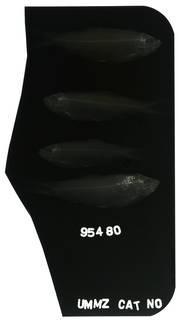To NMNH Extant Collection (Ramnogaster arcuata RAD100553-001)