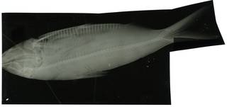 To NMNH Extant Collection (Sardinella maderensis RAD100570-001)