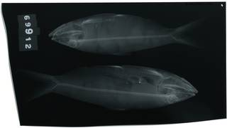 To NMNH Extant Collection (Alosa mediocris RAD100571-001)