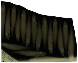 To NMNH Extant Collection (Etrumeus acuminatus RAD100647-001)