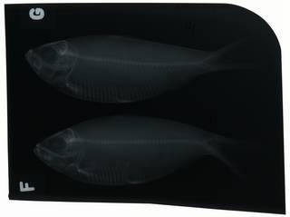 To NMNH Extant Collection (Harengula jaguana RAD100708-001)