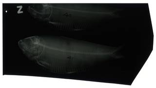 To NMNH Extant Collection (Harengula thrissina RAD100727-004)