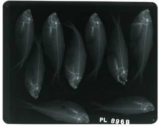 To NMNH Extant Collection (Ilisha africana RAD100744-001)