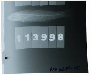 To NMNH Extant Collection (Koumansetta RAD102149-001)