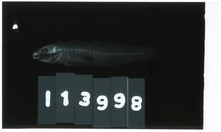 To NMNH Extant Collection (Koumansetta RAD102149-002)