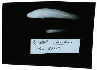 To NMNH Extant Collection (Gobiopsis macrostoma RAD102207-001)
