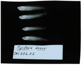 To NMNH Extant Collection (Gobiopsis bravoi RAD102215-001)