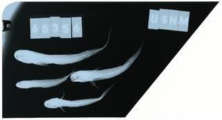 To NMNH Extant Collection (Gobionellus smaragdus RAD102254-001)