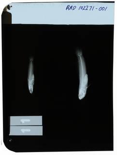 To NMNH Extant Collection (Leioeleotris zonatus RAD102271-001)