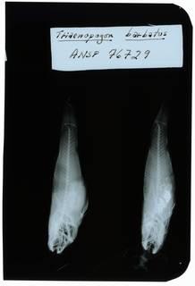 To NMNH Extant Collection (Tridentiger barbatus RAD102273-001)