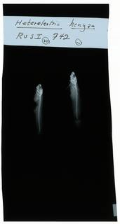 To NMNH Extant Collection (Hetereleotris kenyae RAD102275-001)