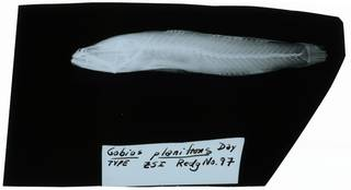 To NMNH Extant Collection (Gobius planifrons RAD102303-001)