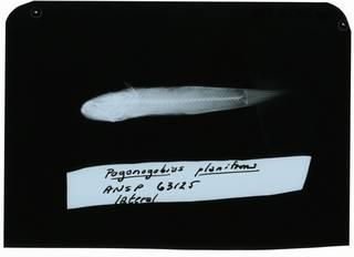 To NMNH Extant Collection (Gobiopsis planifrons RAD102306-001)
