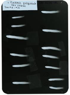 To NMNH Extant Collection (Gobiopsis quinquecincta RAD102341-002)