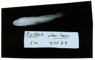 To NMNH Extant Collection (Gobiopsis canalis RAD102345-001)