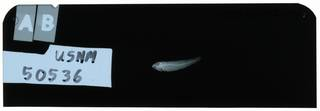 To NMNH Extant Collection (Gobius sternbergi RAD102393-001)