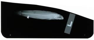 To NMNH Extant Collection (Pallidogobius rigilius RAD102406-001)