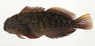 To NMNH Extant Collection (Cirripectes alboapicalis USNM 424088 photograph lateral view)
