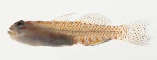 To NMNH Extant Collection (Eviota albolineata USNM 422949 photograph lateral view)