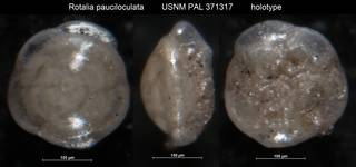 To NMNH Paleobiology Collection (Rotalia pauciloculata USNM PAL 371317 holotype)