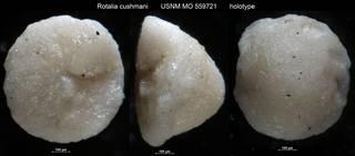 To NMNH Paleobiology Collection (Rotalia cushmani USNM MO 559721 holotype)