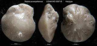To NMNH Paleobiology Collection (Rotalia avonparkensis USNM MO 559719 holotype)