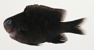 To NMNH Extant Collection (Plectroglyphidodon leucozonus USNM 423393 photograph lateral view)