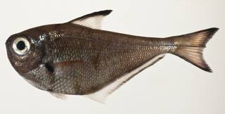 To NMNH Extant Collection (Pempheris USNM 424158 photograph lateral view)