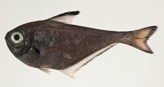 To NMNH Extant Collection (Pempheris USNM 424172 photograph lateral view)