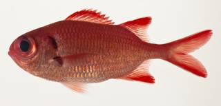 To NMNH Extant Collection (Myripristis pralinia USNM 424095 photograph lateral view)