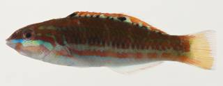 To NMNH Extant Collection (Thalassoma purpureum USNM 423238 photograph lateral view)