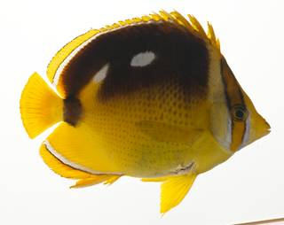 To NMNH Extant Collection (Chaetodon quadrimaculatus USNM 424177 photograph lateral view)