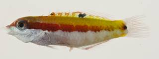 To NMNH Extant Collection (Thalassoma quinquevittatum USNM 422892 photograph lateral view)